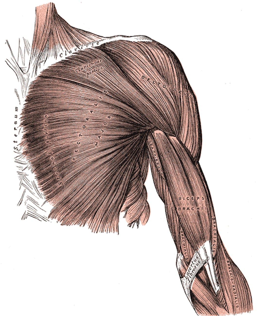 pectoralis major grey's anatomy