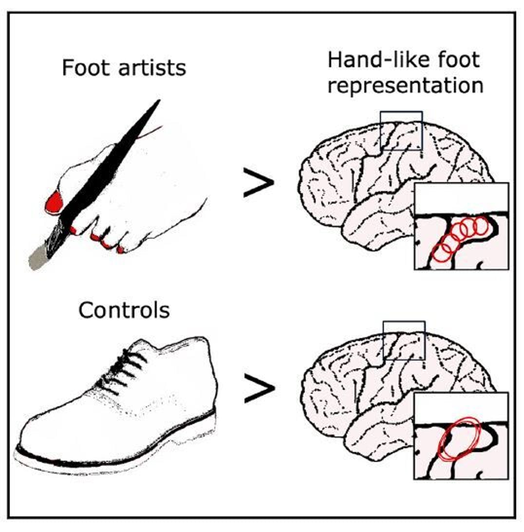 Artists who paint with their toes have brain activity that exhibits a much more precise level of control than the brain activity of individuals who just use their feet for walking.