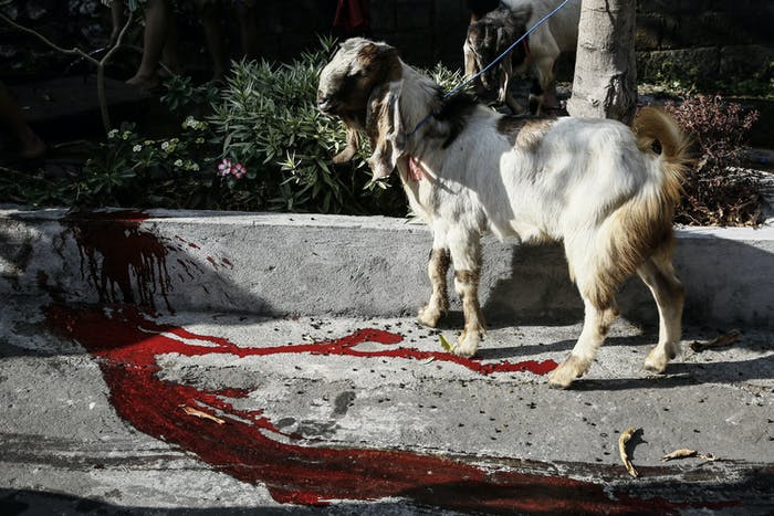 A goat for sacrifice during Eid Al-Adha in Indonesia. Eid is NOT the same holiday as the Winter Solstice, but the cultural practice of ritual sacrifice is similar to that practiced by many European civilizations during Yule.