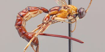 Clistopyga crassicaudata has a scary-ass ovipositor.