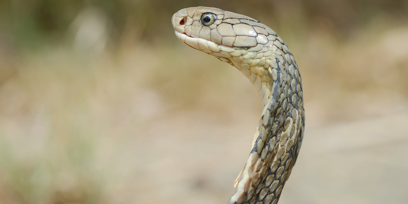 Ophiophagus hannah, King cobra - Kaeng Krachan National Park