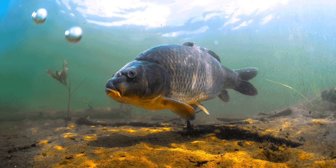 A carp fish swims in a river bed.