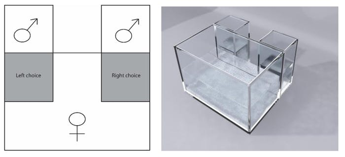 This experimental tank holds one female guppy and two males. If the female lingers in front of one of the males, scientists observe that she is attracted to him.