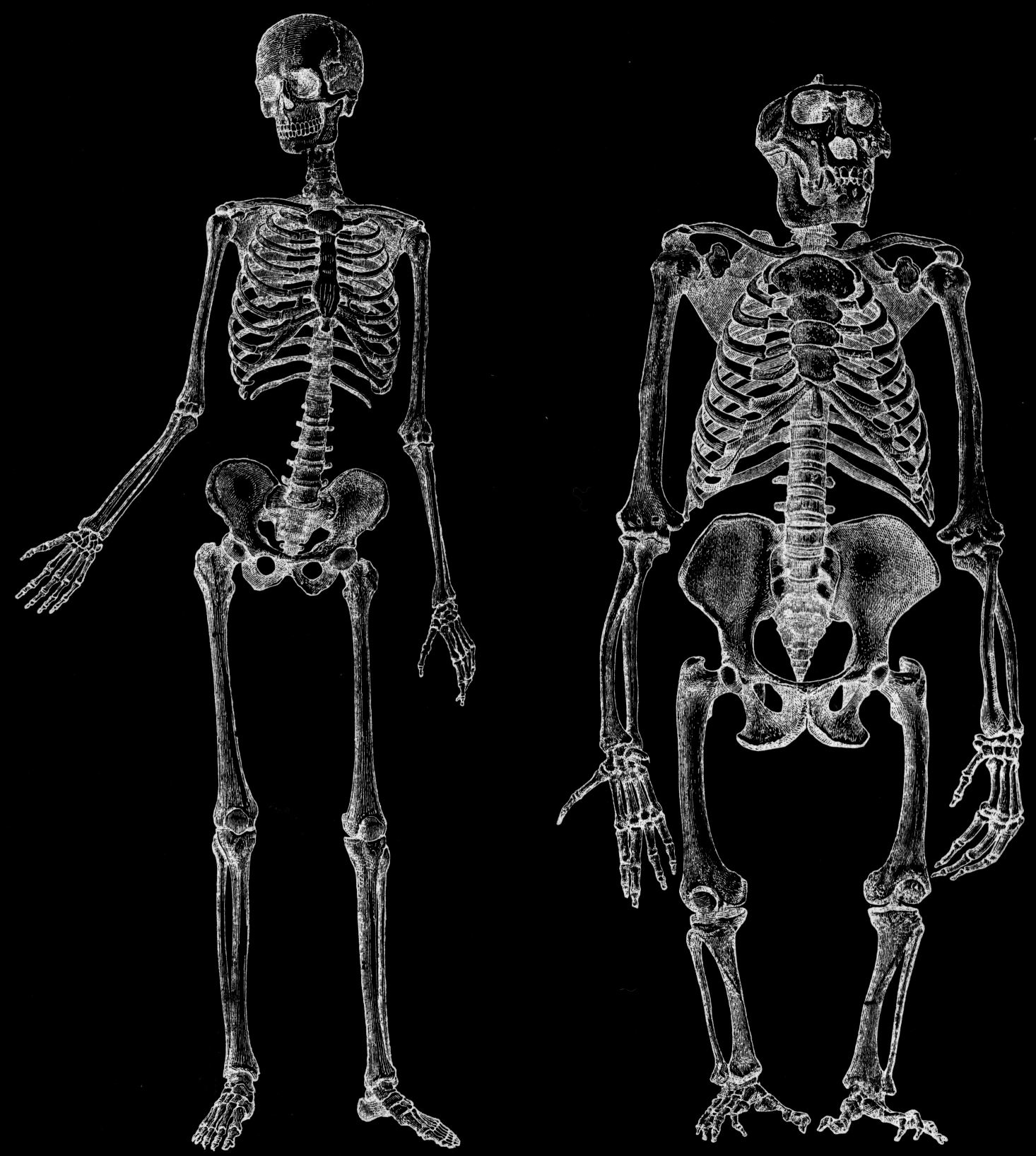 Uniquely Human\' Muscles Found in Apes Switches Up Evolutionary Dogma ...