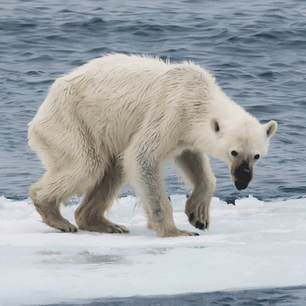 Nature docs like 'Our Planet' have a starving polar bear problem