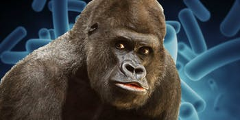 Gorilla, microbiome