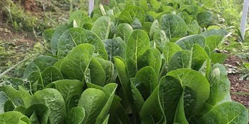 Sturdy Romaine Lettuces