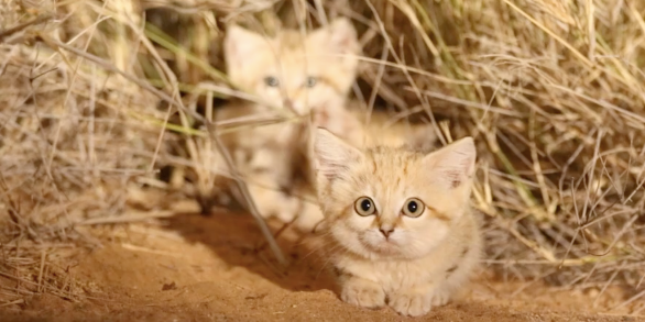 First-Ever Video of Sand Cat Kittens Might Make You Have an Existential Crisis