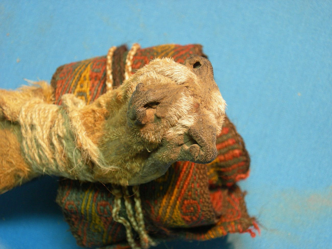 This thousand-year-old pouch, made from three fox snouts sewn together, contained chemical residues of several different psychoactive plants.