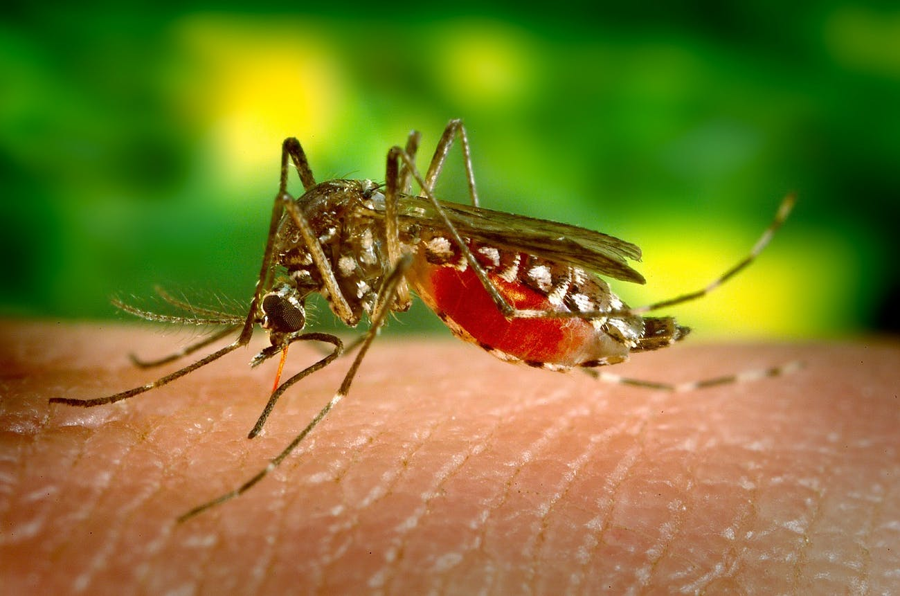 female mosquito bite