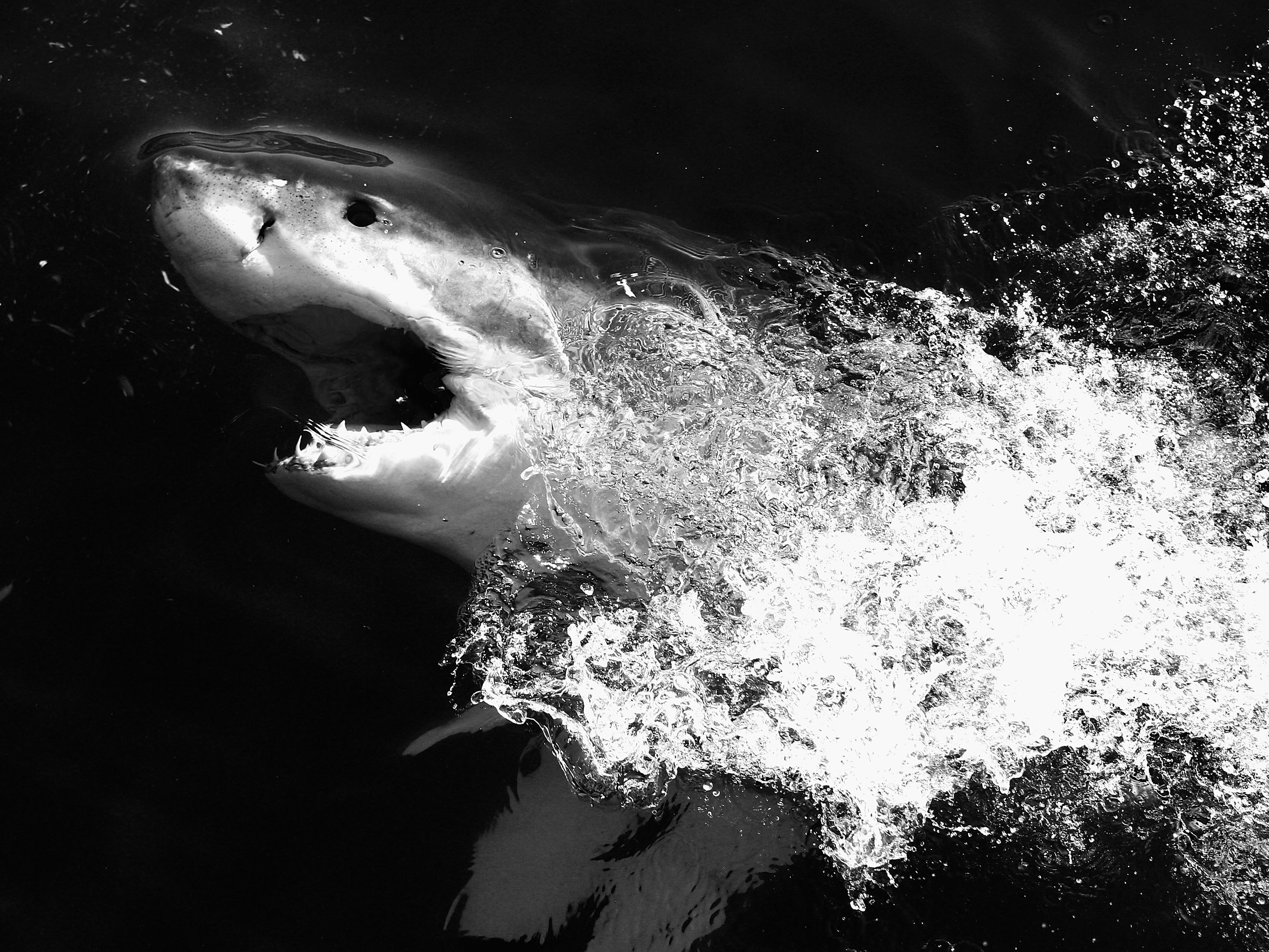 GANSBAAI, SOUTH AFRICA - JULY 08: (EDITOR'S NOTE: THIS DIGITAL IMAGE HAS BEEN CONVERTED TO BLACK AND WHITE) A Great White Shark is seen in the Indian Ocean near the town of Gans Bay on July 8, 2010 in Gansbaai, South Africa.  (Photo by Ryan Pierse/Getty Images)