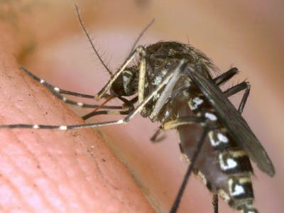 How Do You Stop Mosquitoes? Hack Their Immune Systems