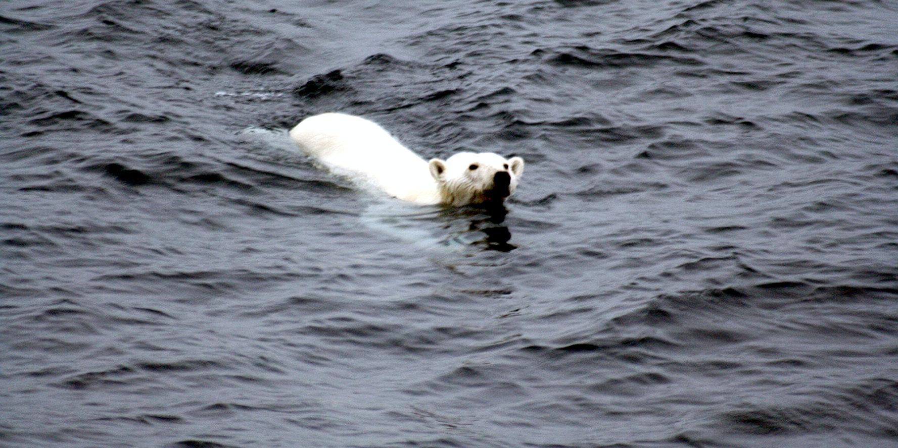 A Polar bear is swimming toward our ship in Arctic Photograped by Brocken Inaglory
