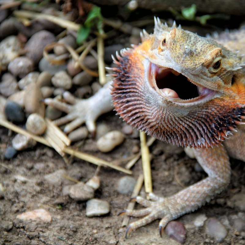 Climate Change Is A Danger For Lizard Intelligence Finds New Study