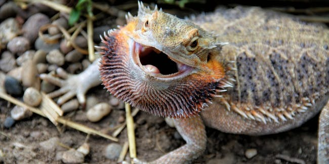 The social cognition of these reptiles are affected by climate change.