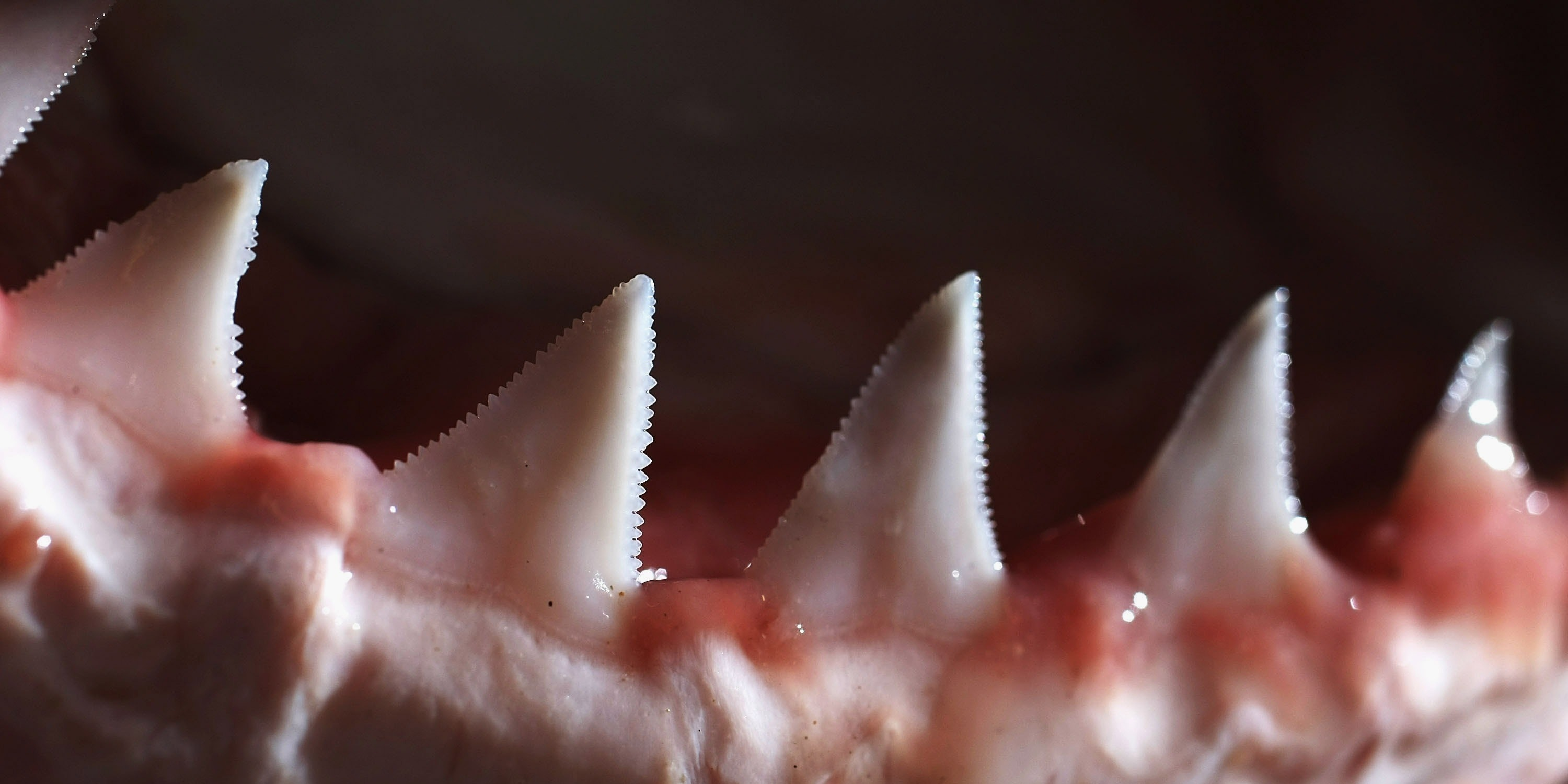 SYDNEY, AUSTRALIA - JULY 25:  The teeth and jaw of a Great White Shark are displayed after research into the biological mechanics of the predator July 25, 2007 in Sydney, Australia. Researchers at the University of New South Wales (UNSW) including Dan Huber from the the University of Tampa, Florida in the USA, plan to remove muscles from the head of several sharks in order to create a digital shark, to help determine it's bio mechanics and potential 'bite force'.  (Photo by Ian Waldie/Getty Images)