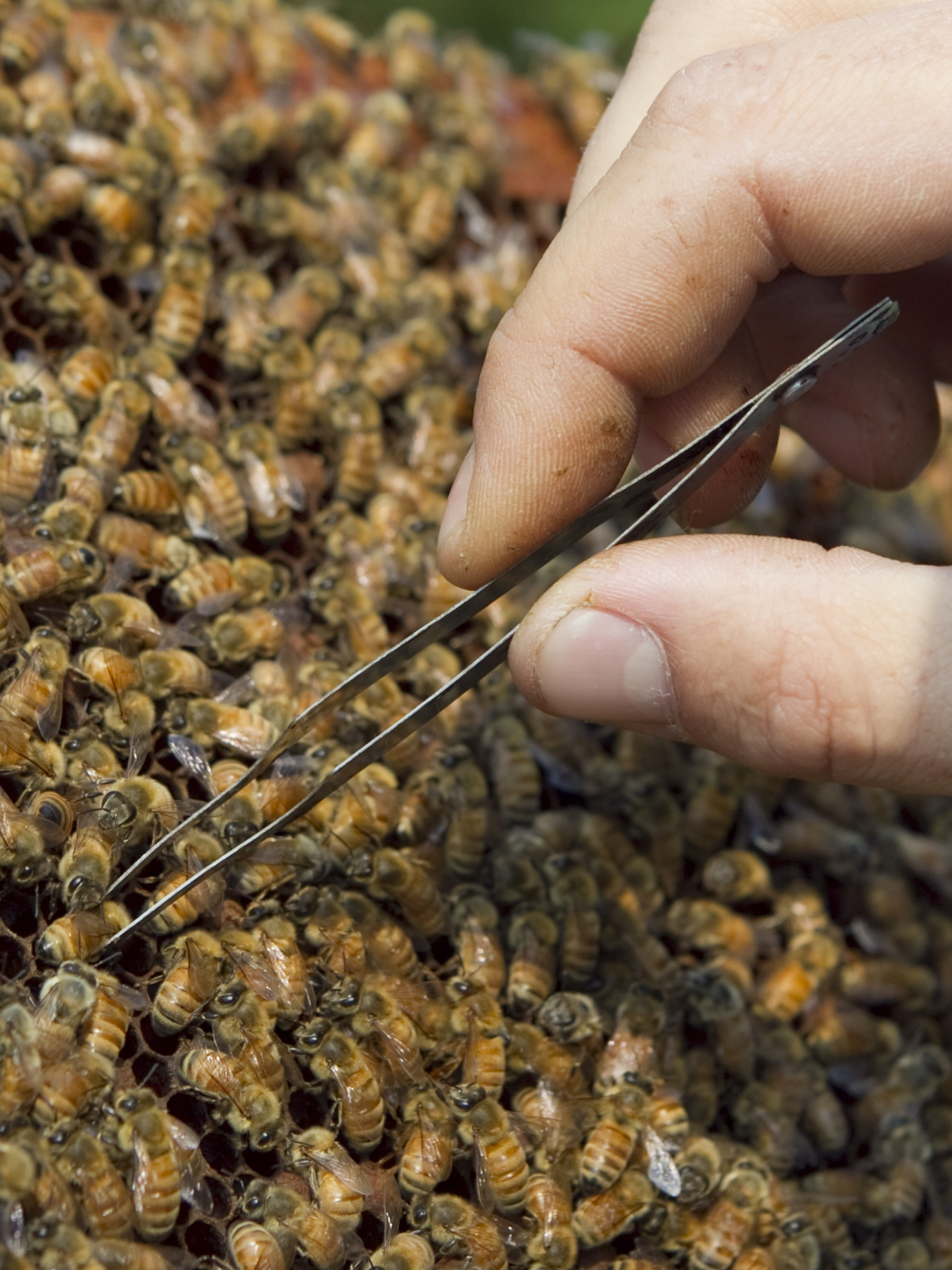 CORVALLIS, OR - AUGUST 5:  An Oregon State University bee researcher collects 'nurse bees' in a hive outside on August 5, 2014 in Corvallis, Oregon. After taking a sample, the researchers analyze the bee blood to determine the effects of pesticides do their the bee's immune systems. The research could be useful in determining if why large number of bees have been dying recently. (Photo by Natalie Behring/Getty Images)