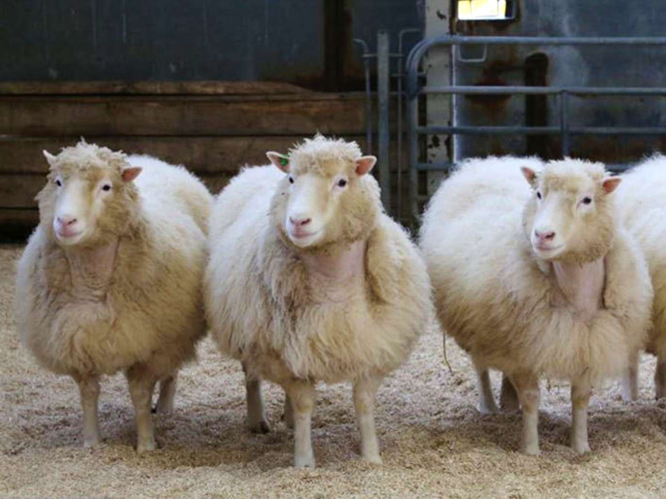 Dolly's Sisters Aged Normally, a Boon for Pet Cloning Labs
