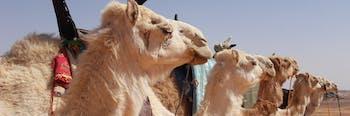 Camels, Saudi Arabia