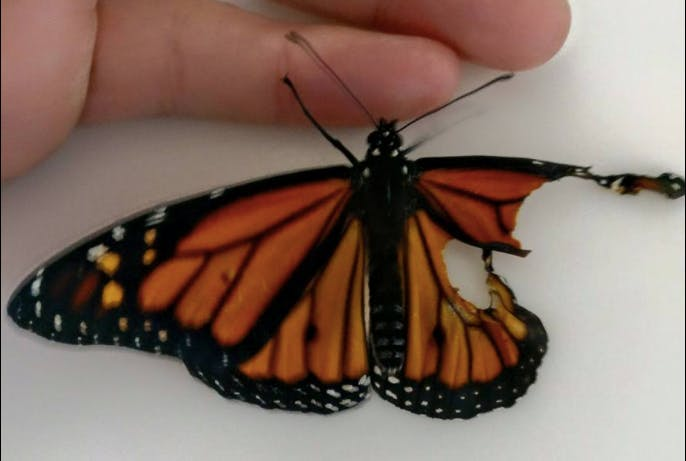 Monarch butterfly with broken wing