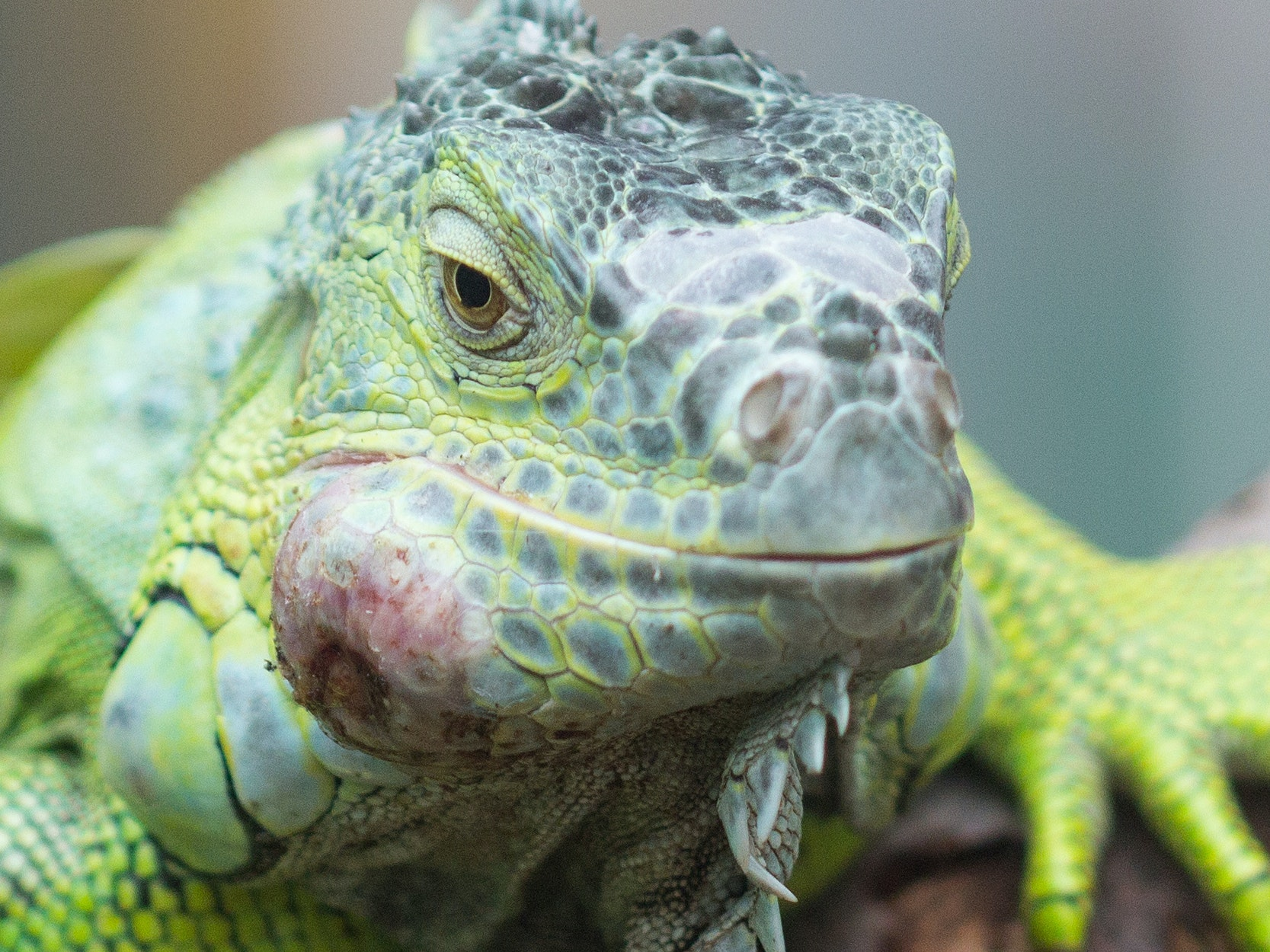 Eating Iguanas Solves South Florida's Invasive Species Problem a Taco at a Time