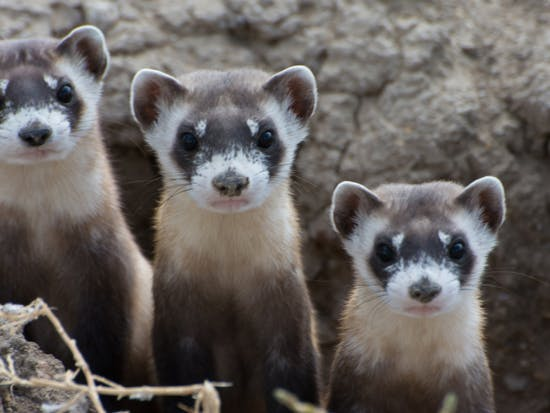Drone-Delivered M&Ms Could Be Last Hope For US Ferrets