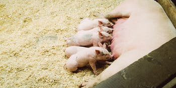 Pigs could soon be genetically engineered