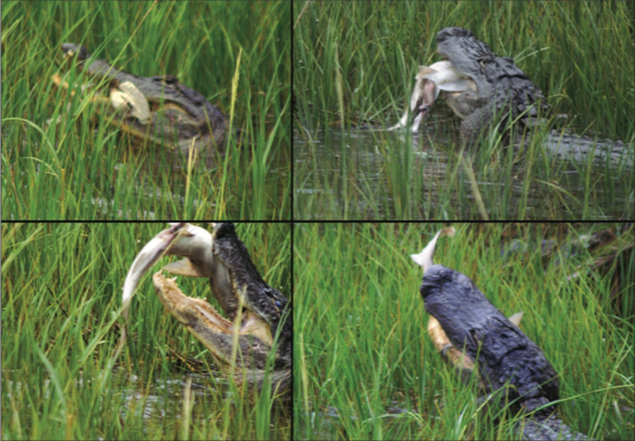 alligator eating a shark