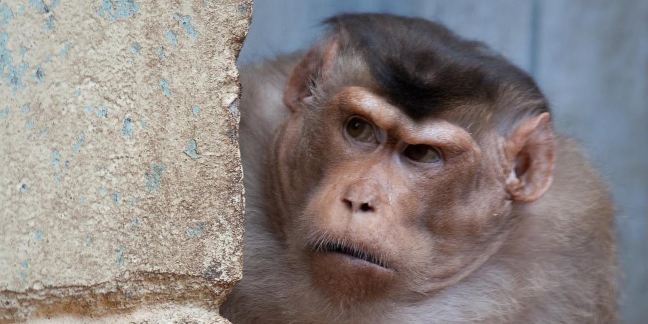 A pigtail macaque shows its 'game face.'
