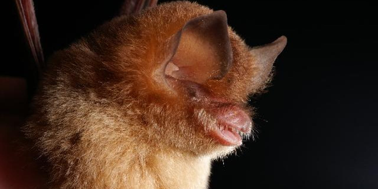 Cuban greater funnel ear bat conservation dollars protection wildlife