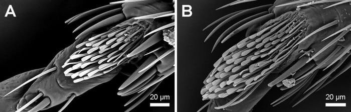 The two images compare the hemipterus (B) to another species called the lectularius (A), showing that the hemipterus has many more hairs surrounding its foot.