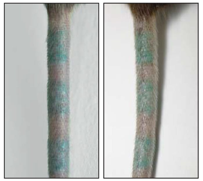 Scientists observed tattooed mouse tails before (left) and after (right) they killed dermal macrophages that hold tattoo ink. They found that these immune cells passed on the ink to new cells, which means the ink stayed put.