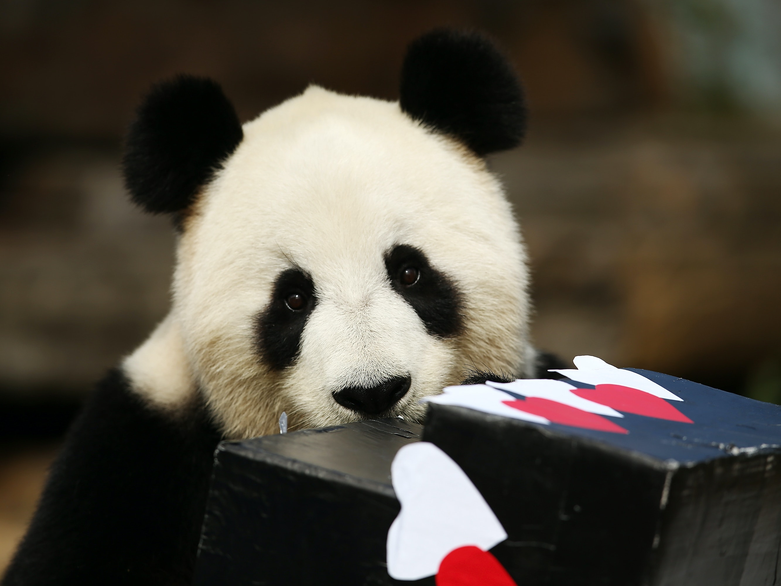 ADELAIDE, AUSTRALIA - AUGUST 23:  Fu Ni the giant panda is treated to specially prepared panda treats for her birthday at the Adelaide Zoo on August 23, 2015 in Adelaide, Australia. Fu Ni the giant panda is turning nine years old.  (Photo by Morne de Klerk/Getty Images)