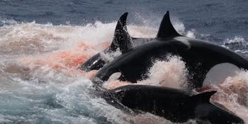 orcas killer whales cuvier's beaked whale