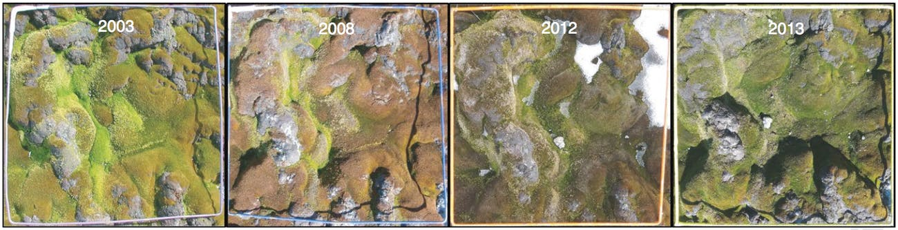 These images show how one of the sample quadrants changed over the 13-year study period. The increased concentration of red and brown (especially obvious in 2008 and 2012) indicates that the mosses are stressed. In addition to the stress, though, the relative abundance of S. antarctici was decreasing while the relative abundance of C. purpureus and B. pseudotriquetrum was increasing.