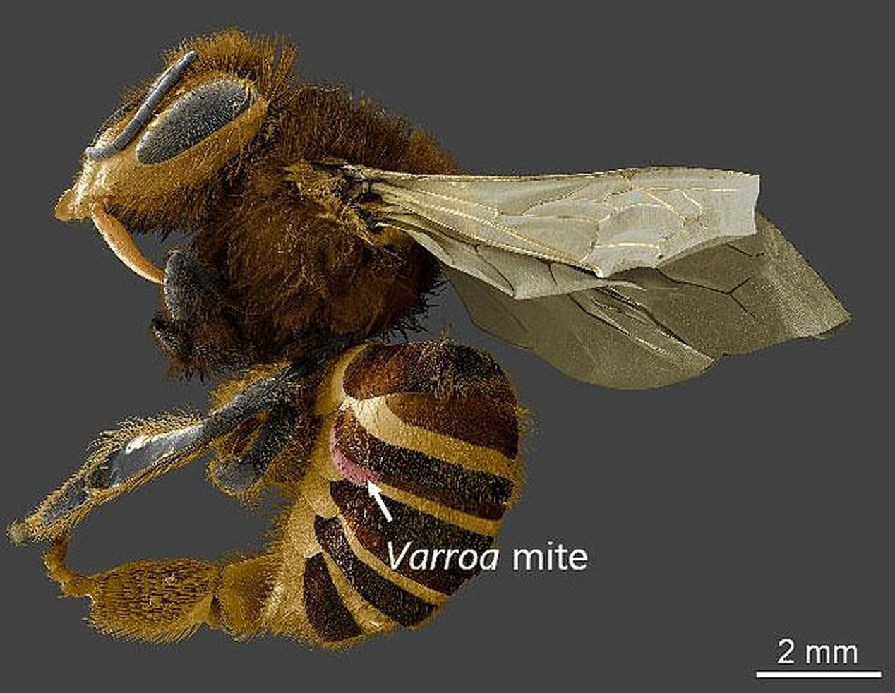 This low-temperature scanning electron microscope image shows a Varroa destructor mite attached to a honeybee.