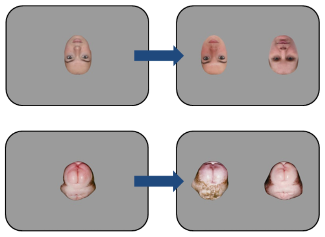In this figure from the study, inverted human faces are paired with similar-looking chimpanzee butts.