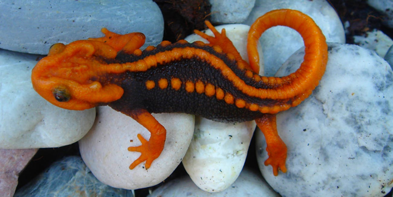 A newly discovered species of newt is named after the Klingons.