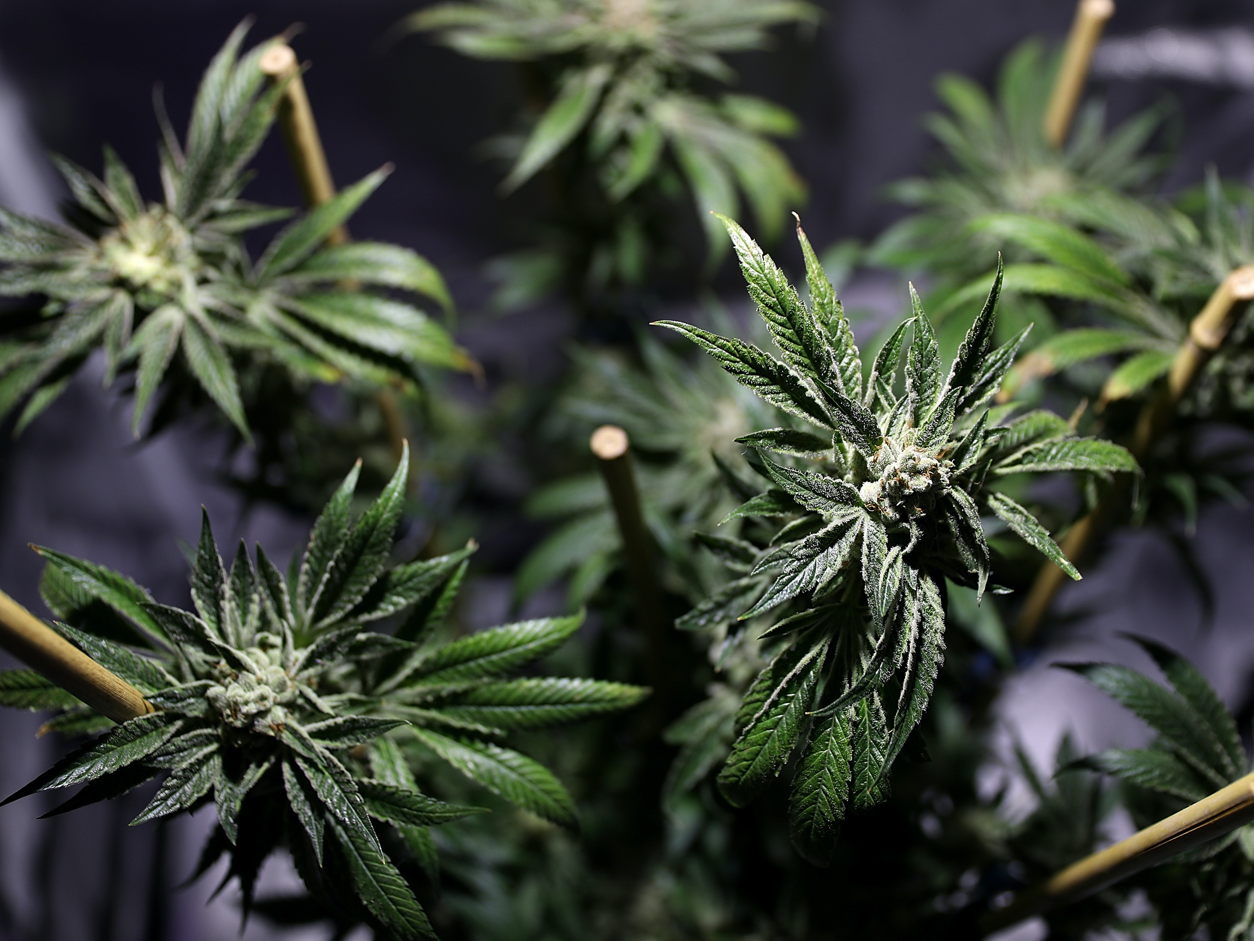 OAKLAND, CA - JUNE 22:  A marijuana plant is displayed during the 2016 Cannabis Business Summit & Expo  on June 22, 2016 in Oakland, California. Policy makers and innovators gathered for the three-day long Cannabis Business Summit & Expo.  (Photo by Justin Sullivan/Getty Images)