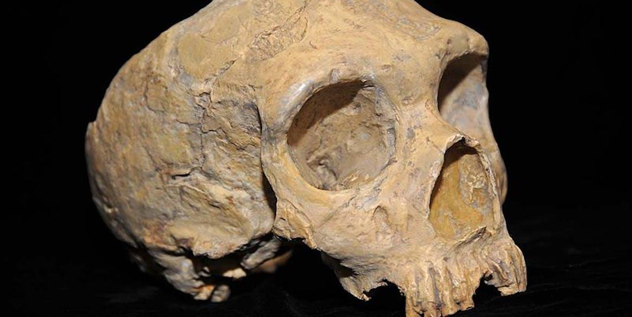 Neanderthal skull