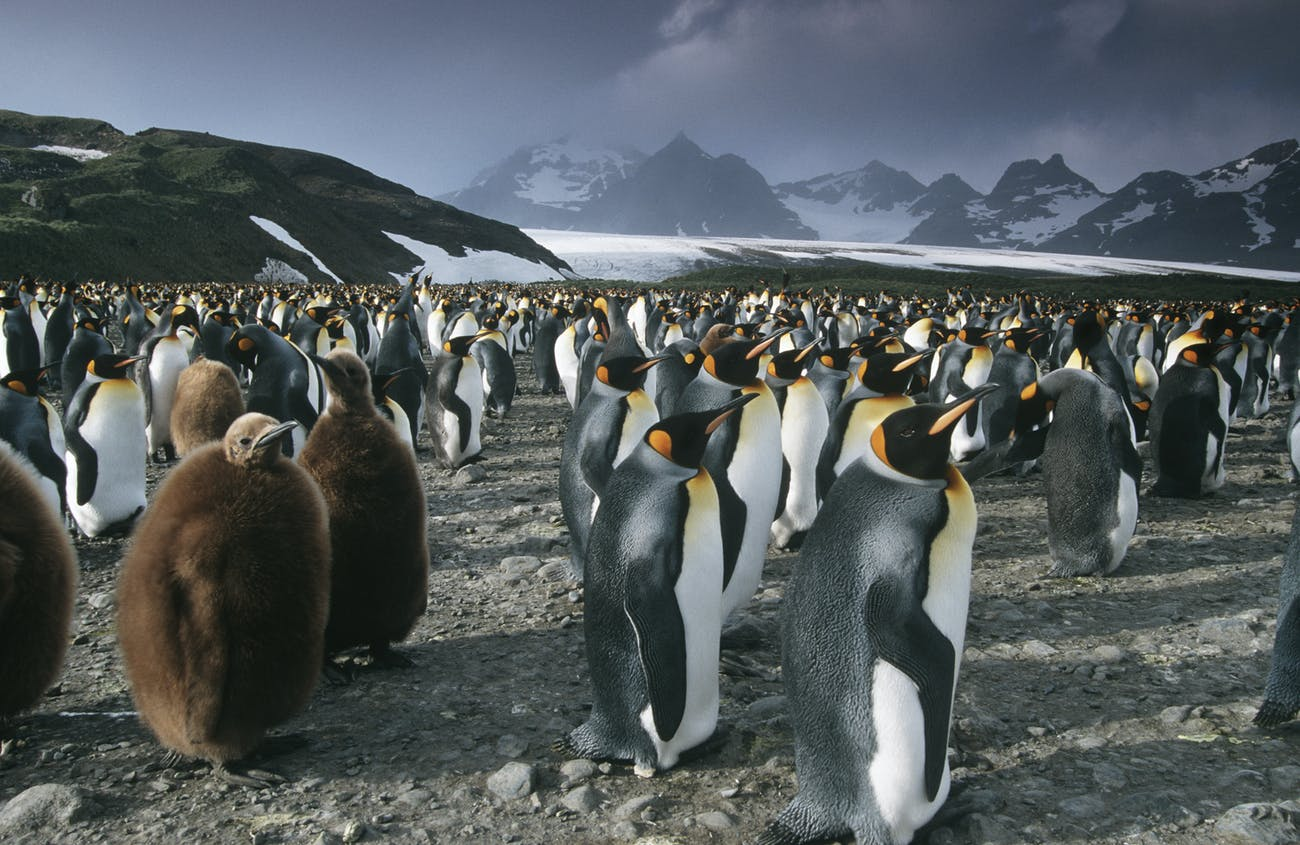 colony of penguins on South Georgia Island