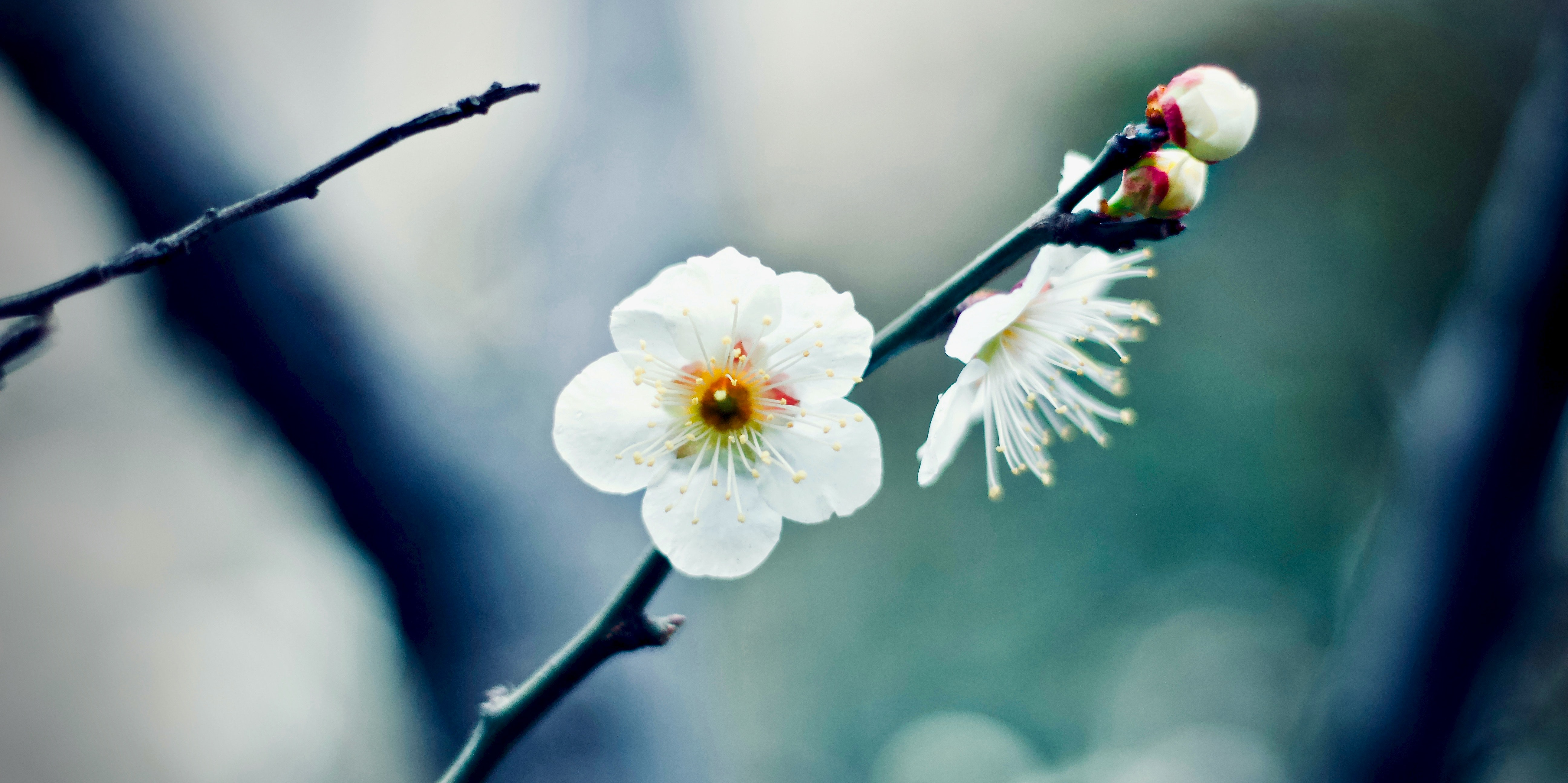 Japan's Famous Cherry Blossoms Are Going Rogue