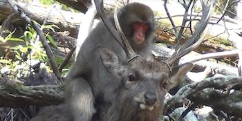 monkey humping deer