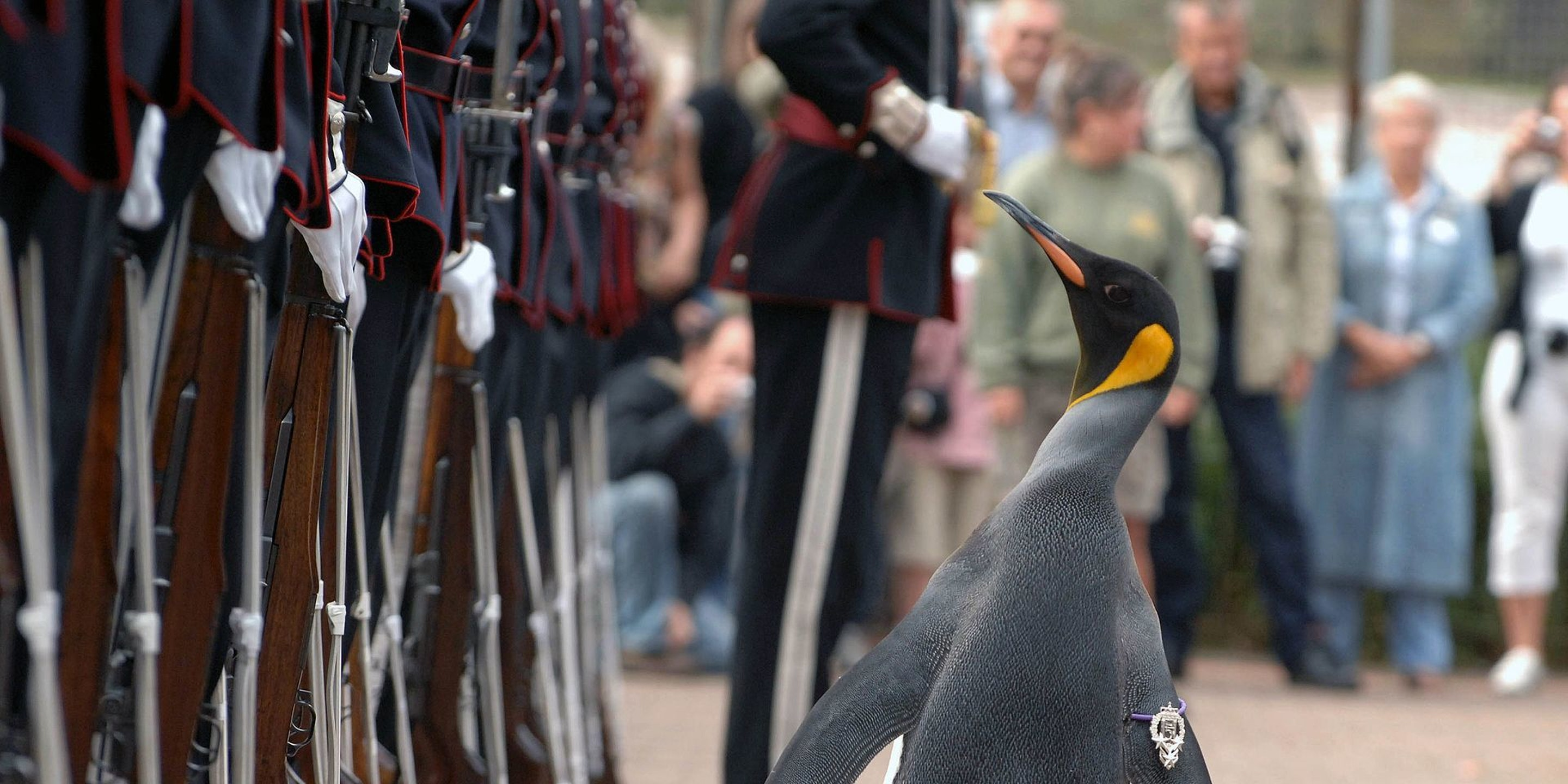 This penguin is a brigadier of Norway.
