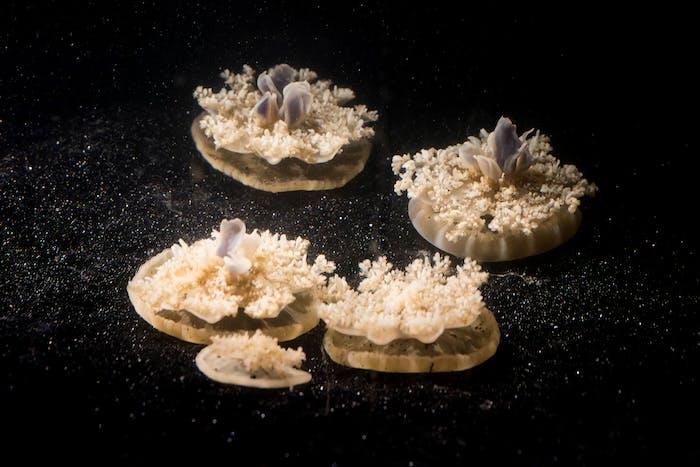 cassiopea jellyfish