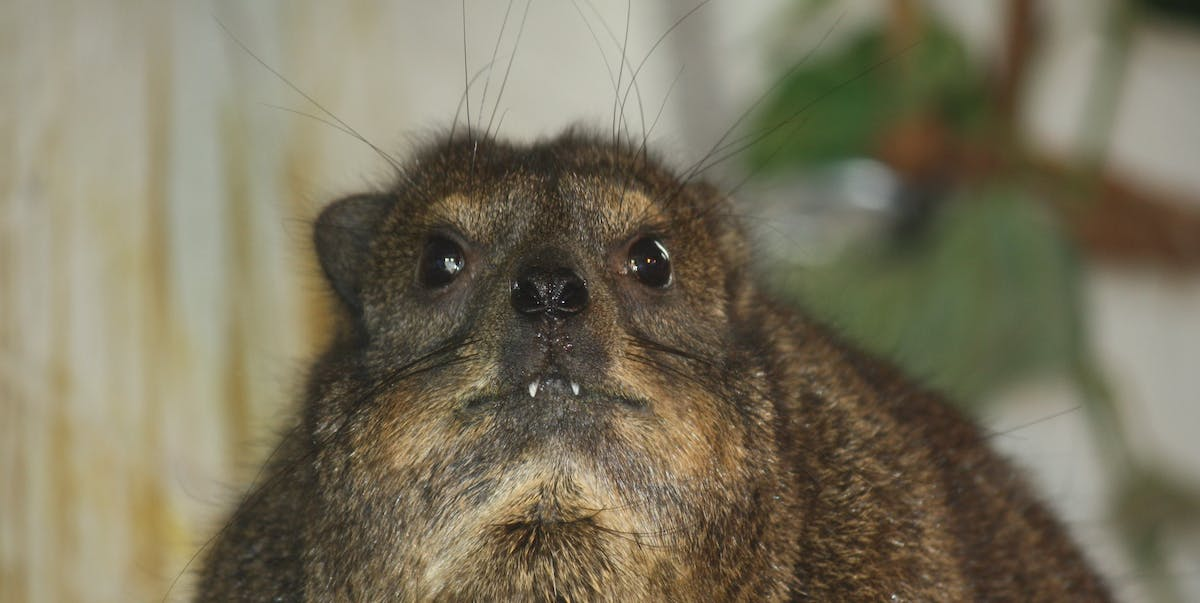 A rock hyrax at the Louisville Zoo.