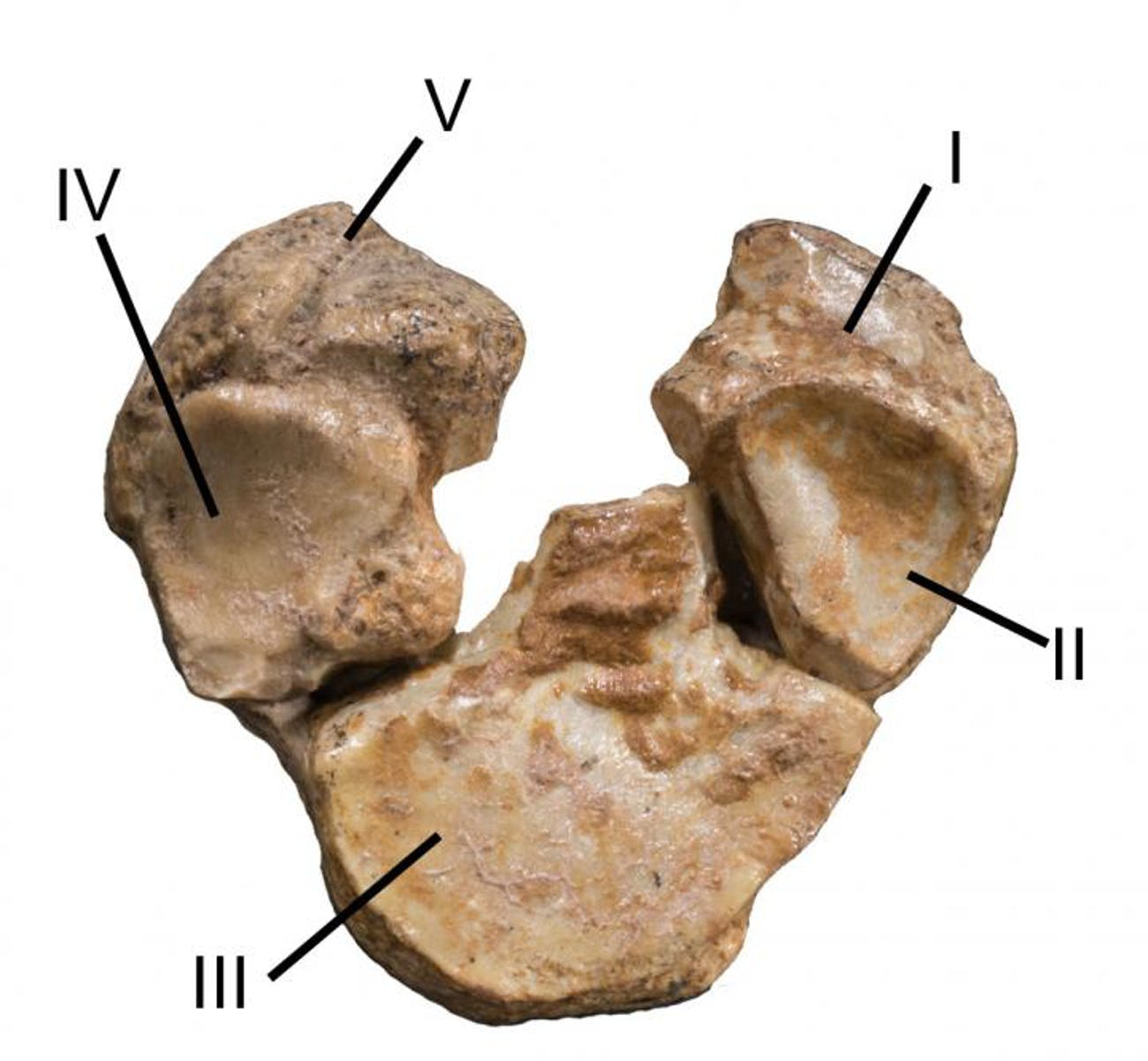 The bottom of this fossilized Mesohippus forelimb shows five different textures, suggesting remnants of five toes.
