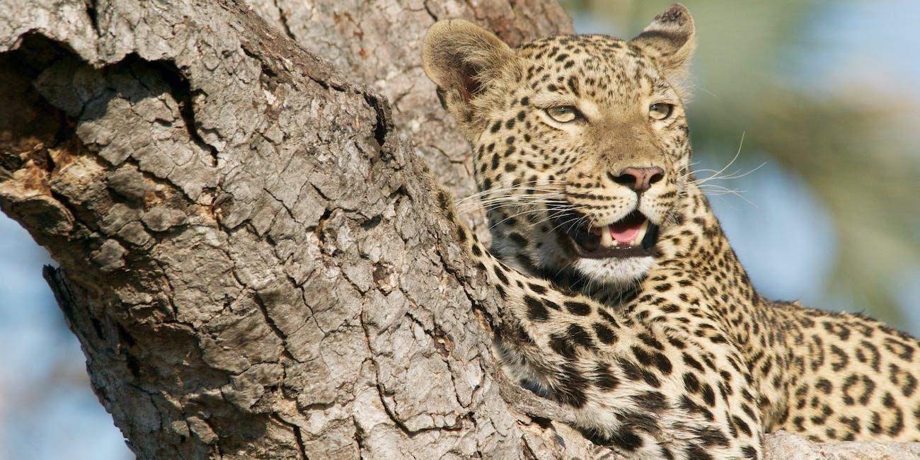 jaguar inca eclipse