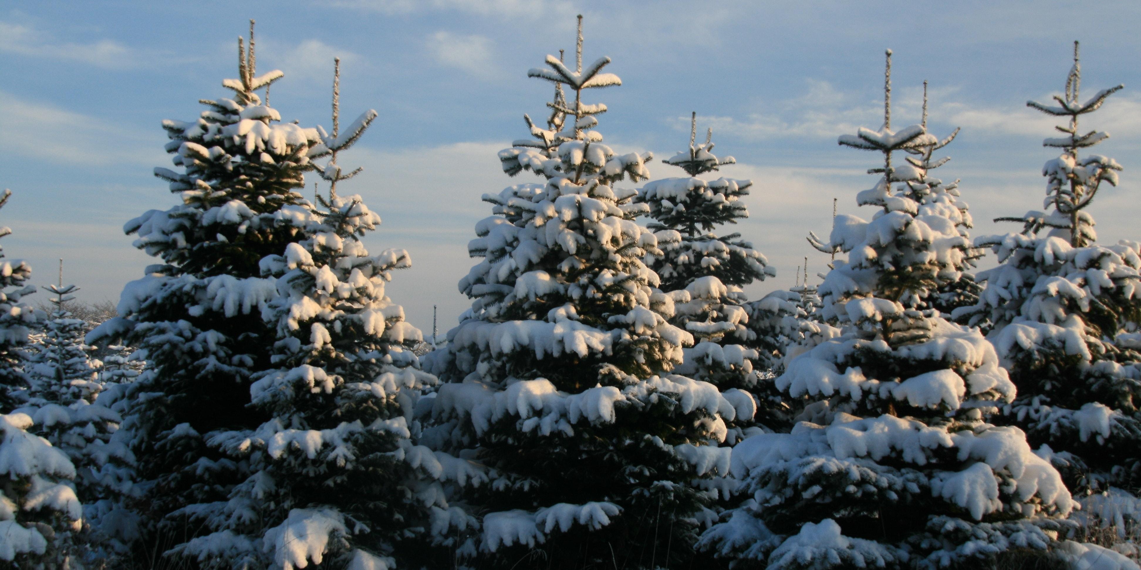Next year's crop (Christmas tree farm) #2
