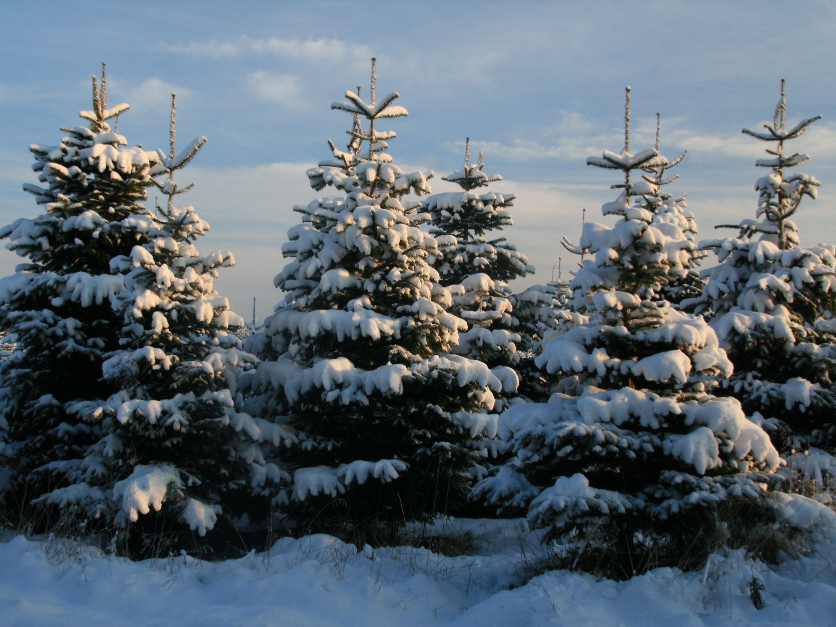 How to Pick the Right Christmas Tree for You